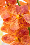 Orquídea anaranjada de Vanda imágenes de archivo libres de regalías