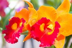 Orquídea anaranjada del cattleya fotografía de archivo