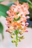 Orquídea anaranjada del gigantea de Rhynchostylis imágenes de archivo libres de regalías