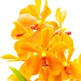 Orquídea anaranjada en el fondo blanco Fotografía de archivo libre de regalías