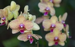 Orquídea ascendente e próxima Fotografia de Stock Royalty Free