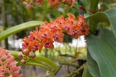 A orquídea asiática da espécie rara em Chiang Mai, Tailândia do norte imagem de stock royalty free