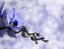 Orquídea azul Imágenes de archivo libres de regalías