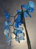 Orquídea azul Imagenes de archivo