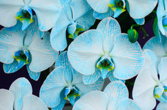 Orquídea azul Imagens de Stock