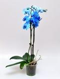 Orquídea azul Fotografia de Stock Royalty Free