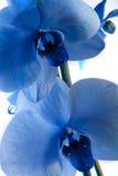 Orquídea azul Imagens de Stock Royalty Free