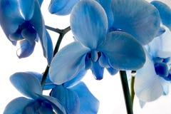 Orquídea azul Fotografia de Stock