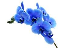 Orquídea azul da flor isolada no fundo branco fotografia de stock