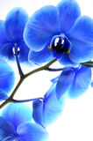 Orquídea azul de la flor Fotografía de archivo libre de regalías