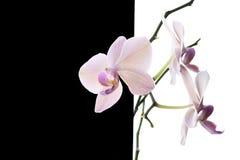 Orquídea blanca Imagen de archivo libre de regalías