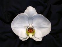Orquídea blanca Imágenes de archivo libres de regalías