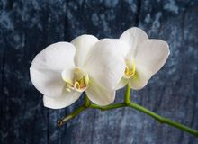 Orquídea blanca foto de archivo