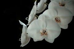 Orquídea blanca Fotografía de archivo