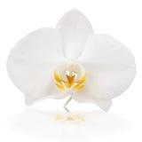 Orquídea blanca Imagen de archivo