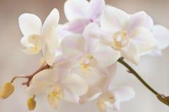 Orquídea blanca Fotos de archivo