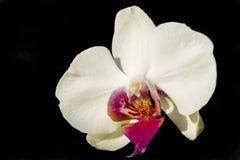 Orquídea blanca aislada Fotos de archivo libres de regalías