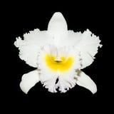 Orquídea blanca aislada en fondo negro Foto de archivo libre de regalías