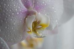 Orquídea blanca con descensos del agua Fotografía de archivo libre de regalías