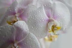 Orquídea blanca con descensos del agua Fotos de archivo