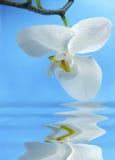 Orquídea blanca con la reflexión Fotografía de archivo
