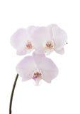 Orquídea blanca con púrpura Foto de archivo