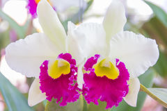 Orquídea blanca de Cattleya foto de archivo