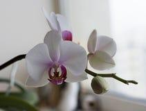 Orquídea blanca de la dulzura con base púrpura Fotos de archivo libres de regalías