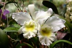 Orquídea blanca del cattleya Fotografía de archivo libre de regalías