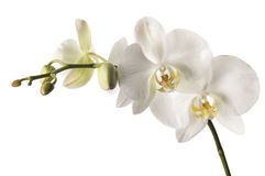 Orquídea blanca del dendrobium aislada en blanco Imágenes de archivo libres de regalías