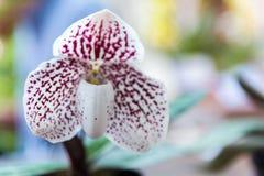 Orquídea blanca del Paphiopedilum foto de archivo libre de regalías
