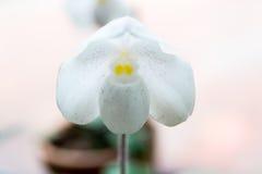 Orquídea blanca del Paphiopedilum foto de archivo
