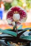 Orquídea blanca del Paphiopedilum fotografía de archivo libre de regalías