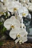 Orquídea blanca del Phalaenopsis Fotos de archivo libres de regalías