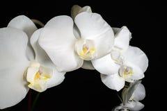 Orquídea blanca del Phalaenopsis Imagen de archivo libre de regalías