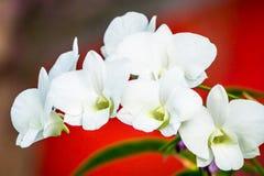 Orquídea blanca en blackground rojo Fotografía de archivo