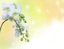 Orquídea blanca en fondo amarillo imagenes de archivo