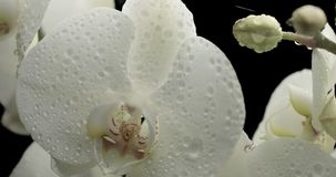 Orquídea blanca en fondo negro