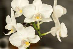 Orquídea blanca en fondo oscuro Fotografía de archivo