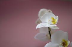 Orquídea blanca en fondo rosado imagen de archivo libre de regalías