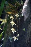 Orquídea blanca en su hábitat natural Foto de archivo libre de regalías