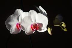 Orquídea blanca en un fondo negro fotos de archivo libres de regalías