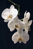 Orquídea blanca en un fondo negro Foto de archivo libre de regalías