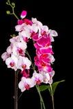 Orquídea blanca en un fondo negro Foto de archivo
