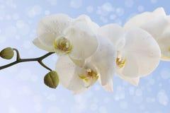 Orquídea blanca hermosa Imágenes de archivo libres de regalías