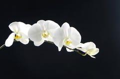 Orquídea blanca hermosa Fotos de archivo libres de regalías