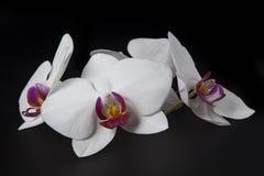 Orquídea blanca hermosa en fondo negro Imágenes de archivo libres de regalías