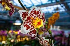 Orquídea blanca, roja hermosa - detalle de una flor de la planta de la casa fotografía de archivo libre de regalías
