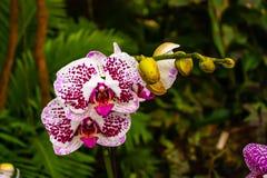 Orquídea blanca, rosada hermosa - detalle de una flor de la planta de la casa imágenes de archivo libres de regalías