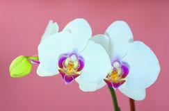 Orquídea blanca sobre fondo rosado Imágenes de archivo libres de regalías